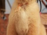 长春哪里有金毛犬出售 纯种健康的金毛犬哪里有多少钱