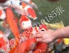 重庆鱼池锦鲤鱼缸锦鲤观赏鱼锦鲤红白大正昭和白写