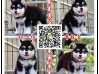 本地养殖场出售大型犬 阿拉斯加 高加索 德牧藏獒秋田等包健康