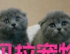 【贝拉宠物】最低加菲猫蓝猫折耳猫金吉拉猫,本地防骗