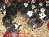 大量供应全国优质青铜火鸡苗 厂家直销 欢迎订购包打疫苗