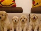 南昌金毛宠物狗养殖场 南昌金毛狗市场 南昌便宜金毛哪里有卖的