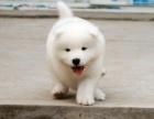 珠海纯种萨摩耶价格,珠海哪里能买到纯种萨摩耶犬