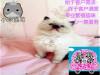 小米猫苑繁殖精品布偶