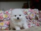 玉溪纯种博美犬价格,玉溪哪里能买到纯种博美犬