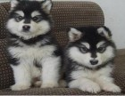信誉服务 高端品质保障 纯种啊拉斯加犬 常年有货
