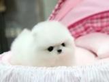 哈多利球体茶杯体博美俊介幼犬签正式协议
