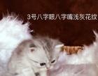 英短 虎斑 渐层 美短 短毛猫