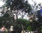 广场园林绿化改造出售各种树木,价格优惠
