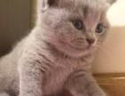 出售自家自配英短純種藍貓4只,