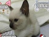 碧蓝色的眼睛纯种健康漂亮可爱小暹罗猫待售