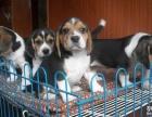 纯种巴吉度幼犬出售短腿狗中型犬巴吉度狗狗包品质包健康