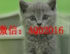 元旦狂欢 蓝猫猫火爆出售无病无藓 签协议 包邮
