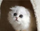 苏格兰折耳猫幼猫宠物猫活体折耳猫短毛猫