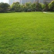 石家庄厂家批发抗旱耐盐碱护坡高羊毛草坪绿化草种芽率高