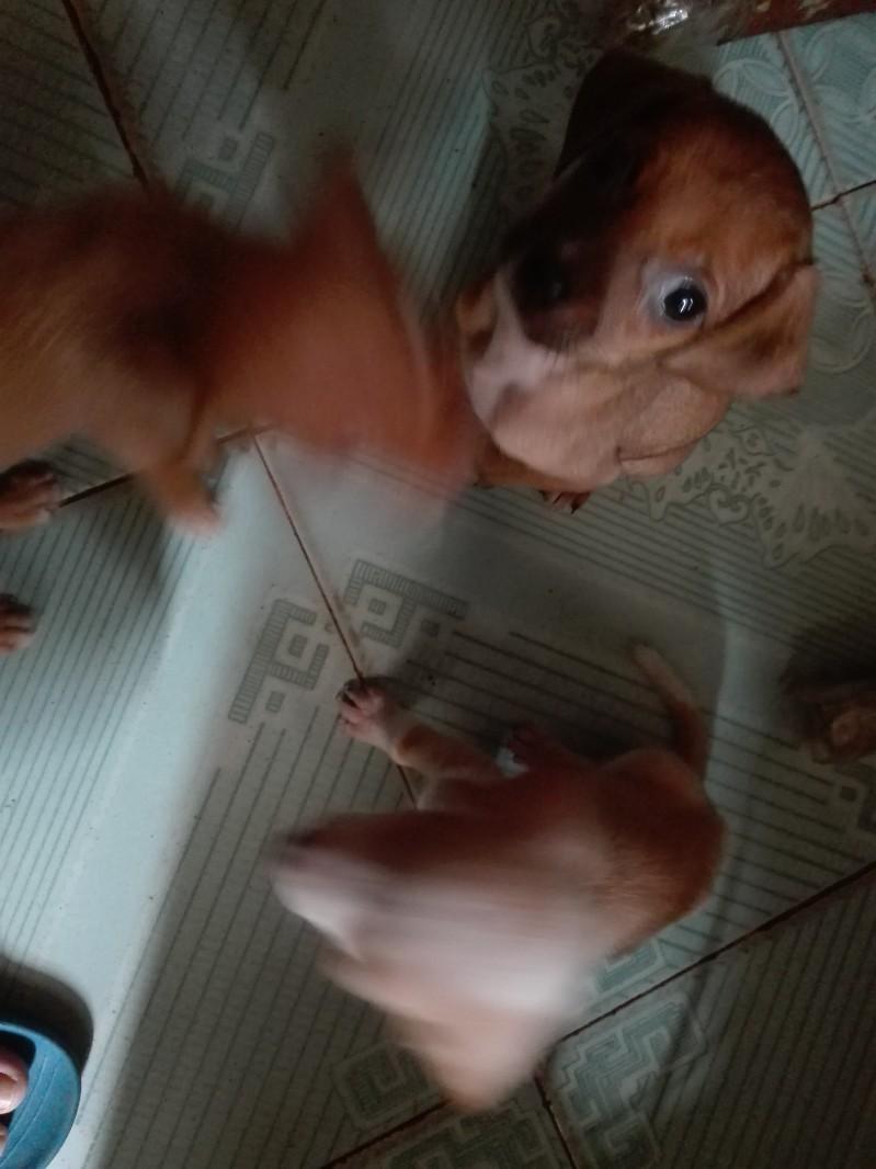 腊肠狗宝宝找爱狗主人