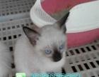 火爆直销优雅可爱暹罗猫幼崽品质保证包售后多只可选