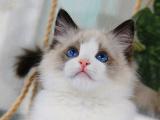 浙江温州猫舍直销布偶猫送货上门