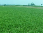 绿化草坪麦冬草麦冬苗产区直销,特价现货供应