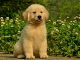 金毛多少钱 犬舍繁殖 有问题包退换 保健康 极品金毛