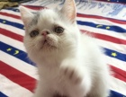 加菲猫异国短毛猫出售