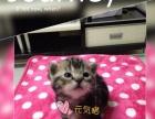 【元気猫】棕虎斑宝宝找新家