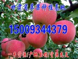 甘肃庆阳红富士苹果种植 产地批发代办