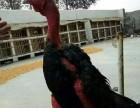 安徽越南斗鸡哪里有卖的呢