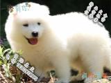 萨摩耶宝宝 漂亮宝贝 哪里有卖萨摩耶 萨摩耶宠物狗