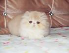 本地猫舍繁殖高品质波斯猫 品质好品相到位