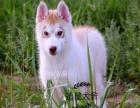 出售家养双血统哈士奇幼犬