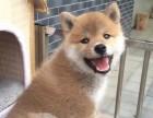南京出售纯种柴犬 南京柴犬多少钱一只 柴犬图片柴犬价格