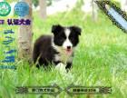 纯种七白三通边境牧羊犬边牧幼犬疫苗驱虫已做包健康