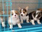 上海哪里有卖柯基上海柯基犬多少钱上海柯基犬好养吗上海柯基照片