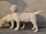 出售繁殖的拉布拉多宝宝 头大宽毛色好 品相佳