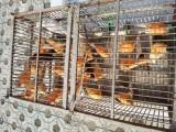 出售自家繁殖辣椒红玉鸟