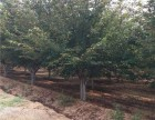 长沙30公分法桐树种植多少棵