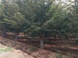 急售法桐树 30公分法桐树