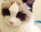求带走的布偶猫咪
