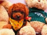 出售纯种健康小体泰迪幼犬钱一只