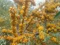 自家培育沙棘树,沙棘果出售。