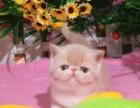 重庆本地出售纯种加菲猫 包子脸水滴眼 欢迎上门挑