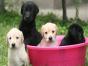 拉布拉多犬专业繁殖 基地直销 可实地挑选 品质保证