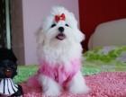 天津哪有马尔济斯犬卖 天津马尔济斯犬图片 马尔济斯犬多少钱