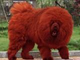 狮子头吊嘴藏獒犬出售 门神守护者 血统纯品相极佳