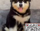 阿拉斯加多少钱,哪里有阿拉斯加犬,百分百纯种巨型熊版阿拉斯加