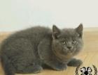 家庭养殖包子脸蓝猫 保证健康 活泼可爱 可视频看猫