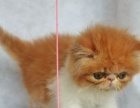 家养纯种波斯猫