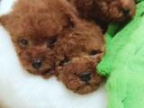 出售高品质纯种幼犬泰迪狗狗出售血统纯正健康