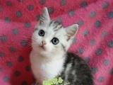 出售英国短毛猫 蓝猫渐层蓝白 美短虎斑 美国短毛猫